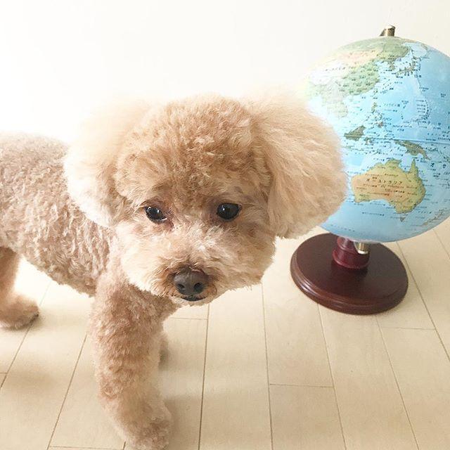 * * * ママさぁ〜ん😊✨ * コロンは旅に出るよぉ〜😆✨ * * * いやとりあず・・・😅 * お庭の草抜きでもしましょうコロンさん😂💦 * * * * * #暮らし#暮らしを楽しむ#犬#犬バカ部#わんこ#わんちゃん#ふわもこ部#ふわもこ#フワモコ#フワモコ部#トイプードル#トイプー#癒し#愛犬#今日のわんこ#かわいい#トイプードル大好き#トイプードル部#トイプードルレッド#dog#地球儀#地球儀の前で#コロンさんのつぶやき