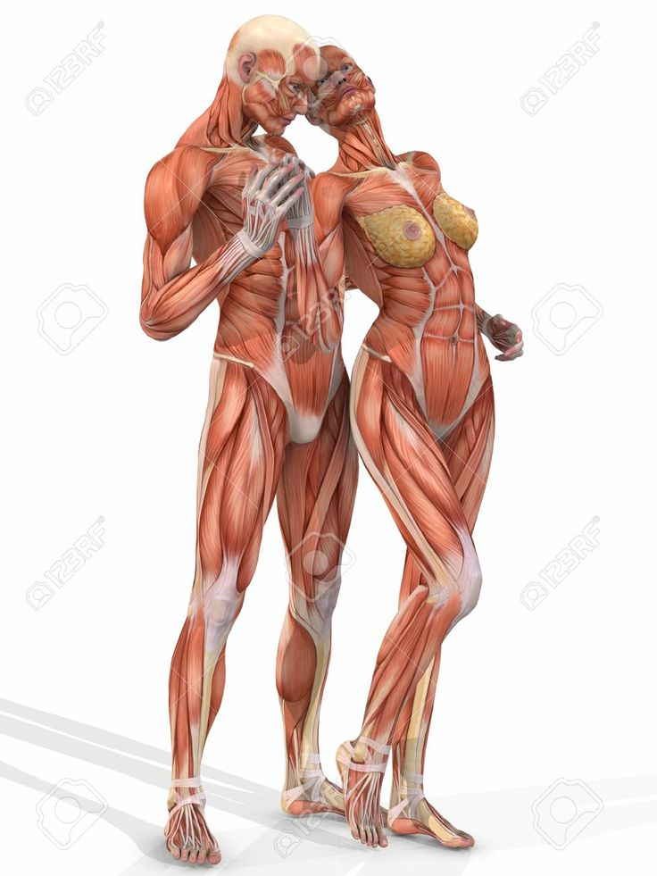 muscular system anatomical chart hd - Google Search Like & Repin. Noelito Flow. Noel  Panda http://www.instagram.com/noelitoflow