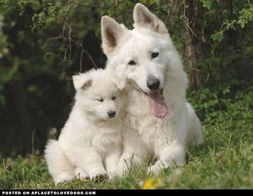 White German Shepherd Puppies | ..., natural born guard dogs