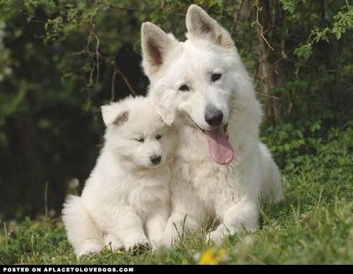 White German Shepherd Puppies | ..., natural born guard dogs