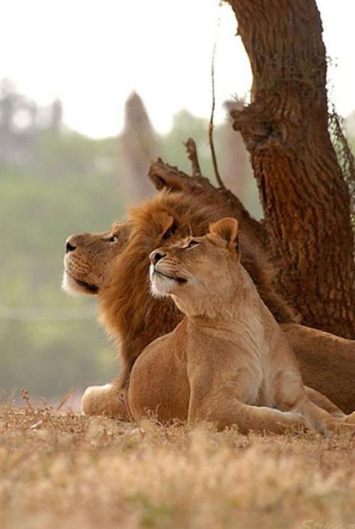 Lion Pair Amazing Animals Pinterest