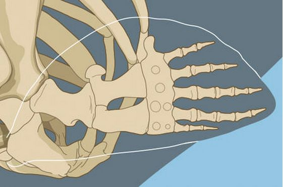 Did you know? Whales' flippers, or pectoral fins, share bone structure with the human arm and hand.   In fact, the bones of cetacean flippers are the same kinds of bones as in the human arm, with an upper arm bone, two forearm bones, and hand, wrist, and finger bones. In whales, fingers are elongated and may have additional bones.