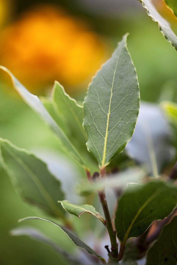Herbs: Sweet bay (Laurus nobilis) is usually grown for it's lush foliage, which can both be neatly clipped for a topiary garden feature, or picked and added to soups, stews and other dishes. Visit our website for growing tips http://www.gardenersworld.com/plants/laurus-nobilis/3548.html
