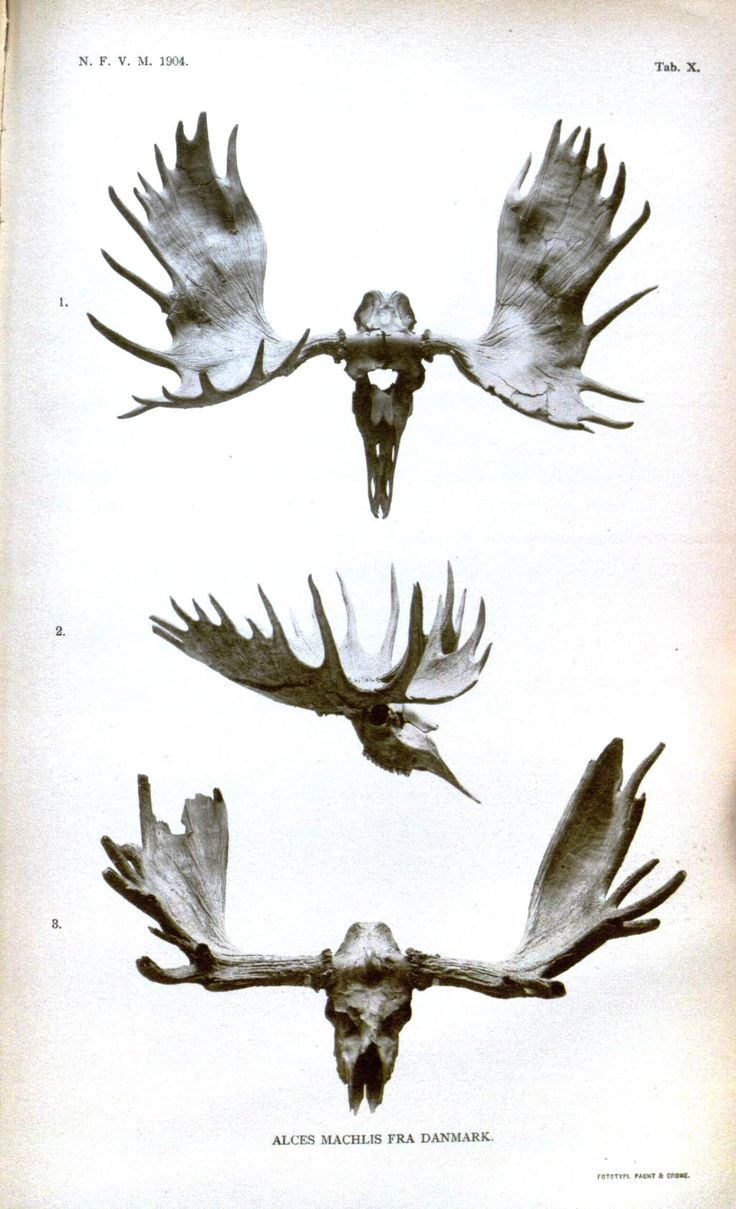moose antler print public domain maxfield master bedroom pinterest horns animals and. Black Bedroom Furniture Sets. Home Design Ideas