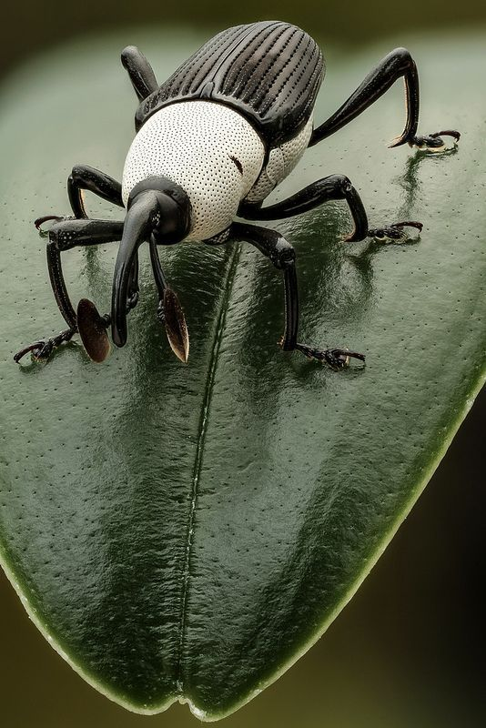 Black and White Weevil (by Andre de Kesel). This peculiar weevil (Cercidocerus albicollis (Olivier), Curculionidae; ID-credit : Dr. M.L. Chamorro) is often seen in small clearings in the dense forest (DR Congo, Yangambi, November 2013). It likes to sit at the edge of leaves, constantly moving its hammer-shaped antenna up and down, … sensing the air I guess. It is very skittish, come too close and it flies away. This specimen was captured and preserved in ethanol for study…