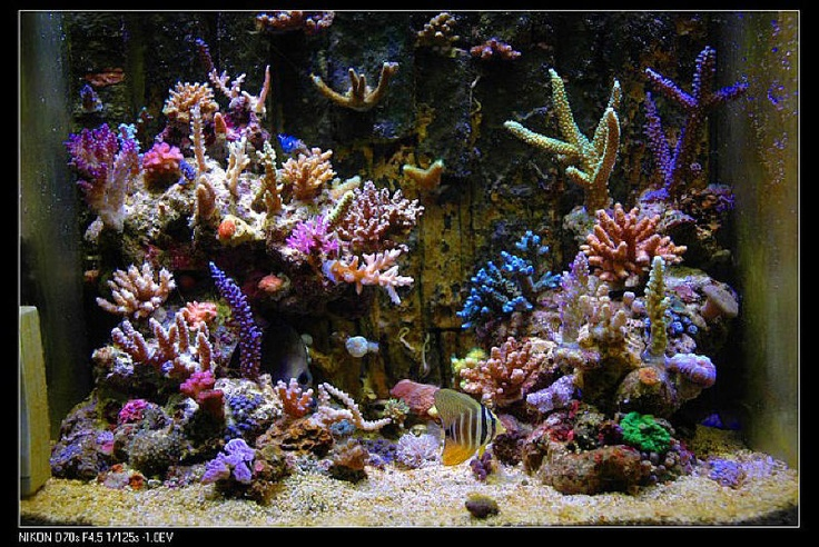37 best images about nano reefs on pinterest more for Nano saltwater fish