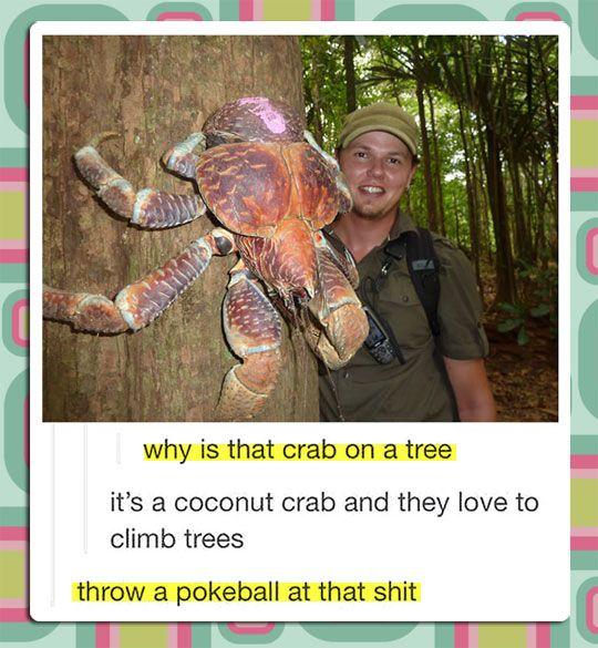 funny-real-Pokemon-crab-coconut-Pokeball