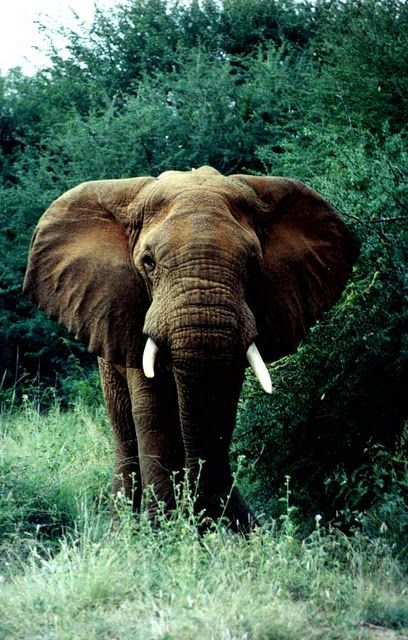 It's amazing how elephants will run off predators from baby animals out in the wild...