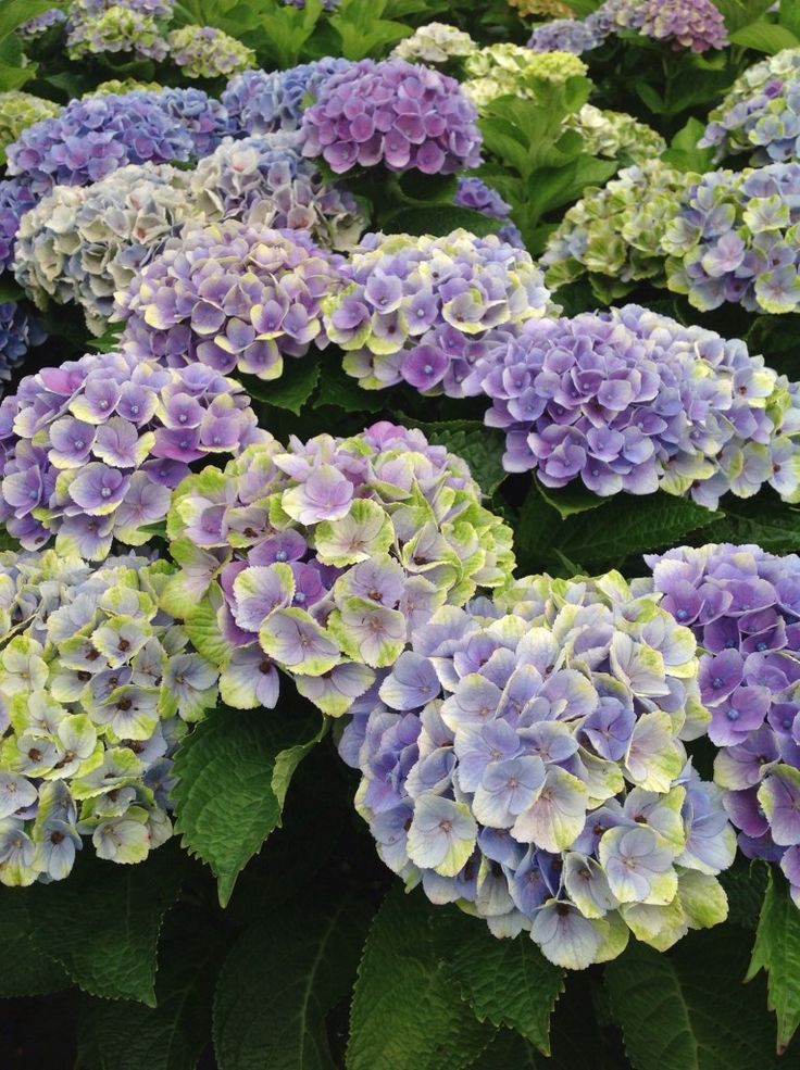 Best Hydrangea Pruning Guidance Pruning Hydrangeas
