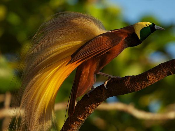 greater bird of paradise   male greater bird-of-paradise (Paradisaea apoda). Photograph by Tim ...