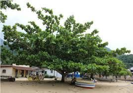 Terminalia catappa, Sombreiro, Chapéu de praia, Amendoeira-da-praia.
