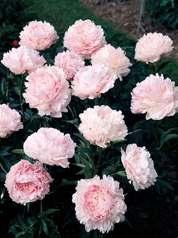 Pillow Talk With its large, double pink blooms, it's no wonder this gorgeous variety won a top award from the American Peony Society. Name: Paeonia 'Pillow Talk' Bloom Time: Mid- to late season Growing Conditions: Full sun and well-drained soil Size: 32 inches tall Zones: 3-7