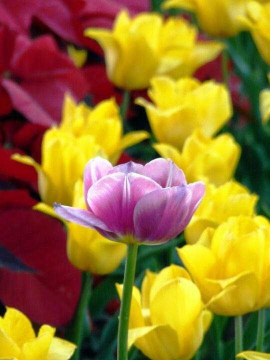 Fields of tulips at Jingshan Lake