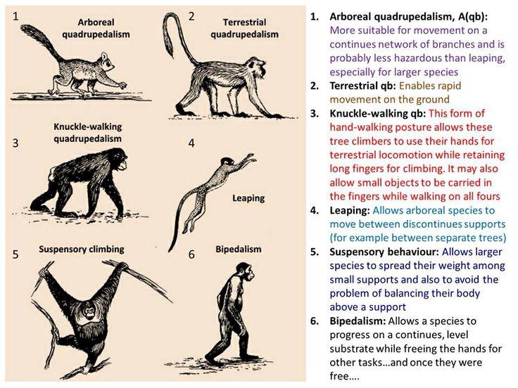 Primate locomotion | A...