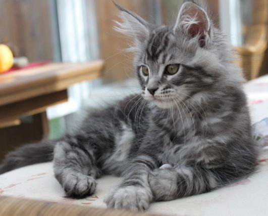 WhatATrill Maine Coons of Northern California.  THIS is the coloring I'd like my next Maine Coon to have. But there are none as sweet as my Earl!