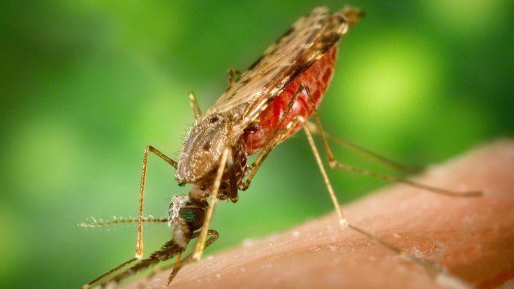 Em laboratório, o mosquito transmissor da malária foi capaz de infectar ratos com uma bactéria causadora de febre tifoide.