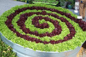 Spiral Lettuce Loma and Galactic