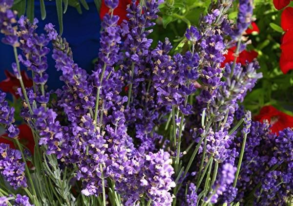 with these tips anyone can grow lavender growing lavender front yards and to grow. Black Bedroom Furniture Sets. Home Design Ideas