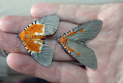 Peridrome orbicularis and Euplocia membliaria females (Noctuidae: Aganainae). Photo by Yakovlev Alexey on flickr.