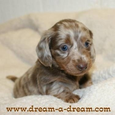 Either be longhair chocolate/ cream or chocolate/ tan dachsie too early to know for sure at this age. Very cute whichever color:)