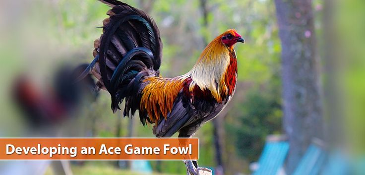 Developing an Ace Game Fowl | PSSC