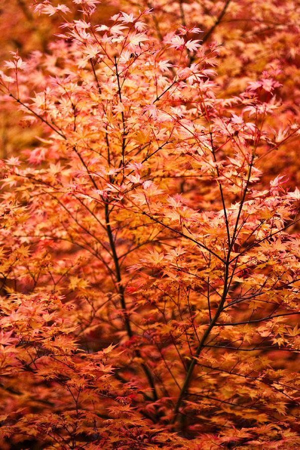 Orange.  The autumn leaves...drift by my window....