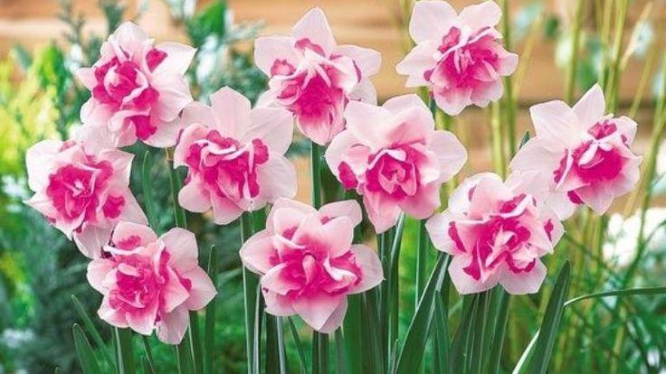 Virágok a teraszra: tulipán, nárcisz, jácint http://www.nlcafe.hu/otthon/20150408/terasz-viragtulipan-narcisz-jatcint-ultet/