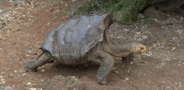 Ele tem mais de 100 anos e seu empenho sexual salvou as tartarugas gigantes