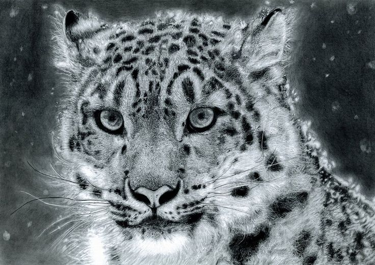 Perfect Snow Leopard Drawings | Snow Leopard By Muse0107 On DeviantART Home Design Ideas
