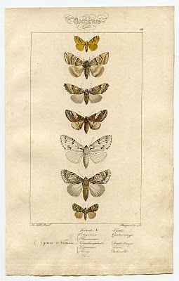 Free Antique Clip Art - Natural History - Moths - The Graphics Fairy