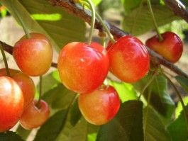 Vega cseresznyefa | Sieberz Kft.