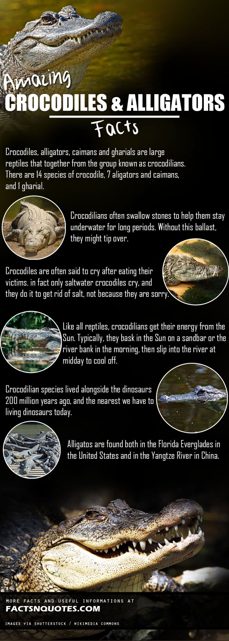Amazing Crocodiles and Alligators Facts You should Know!