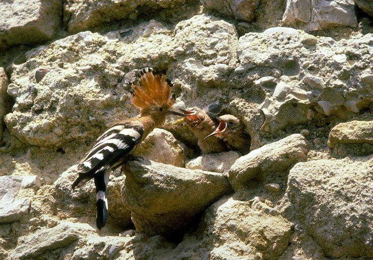Huppe fasciée - Parc National de Port-Cros