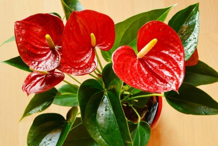 How To Care For Anthurium The Easy Way Flamingo Flower Smart Garden Guide Anthurium Plant Flamingo Flower Flowering House Plants