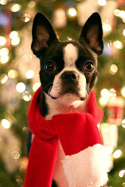 """A joyful Holiday Season!"" #dogs #pets #BostonTerriers facebook.com/sodoggonefunny"