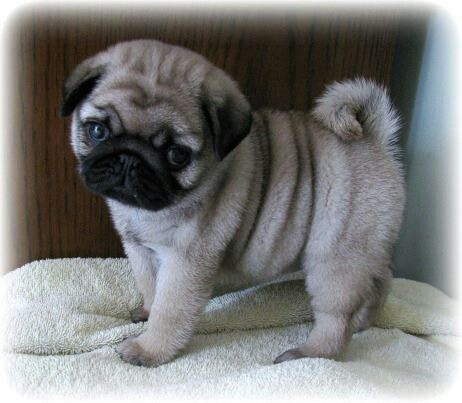 Baby pug — makes life happier!!