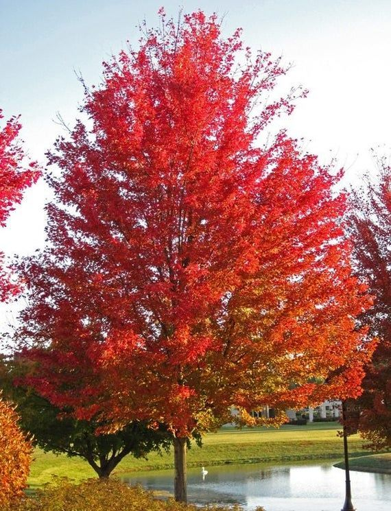 Silver Maple Tree Live Tree Beautiful Red Fall Colors Etsy In 2021 Silver Maple Tree Shade Trees Red Maple Tree