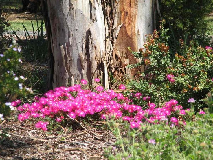 24 best adelaide native plants images on pinterest for Garden trees adelaide