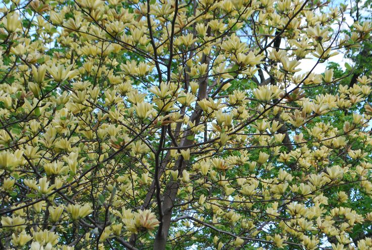 53 best images about ornamental trees for zone 4 5 on for Best ornamental trees for zone 7