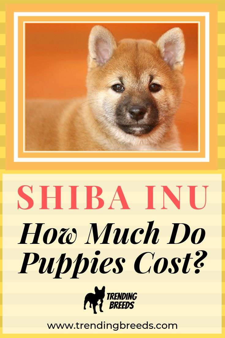 How much do shiba inu puppies cost actual breeder prices
