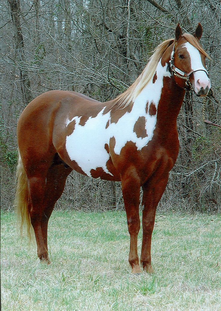 Beautiful red and white Paint Horse OH MY GOSH I WANT THIS HORSE! SO PRETTY