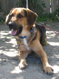 German Shepherd Beagle Mix