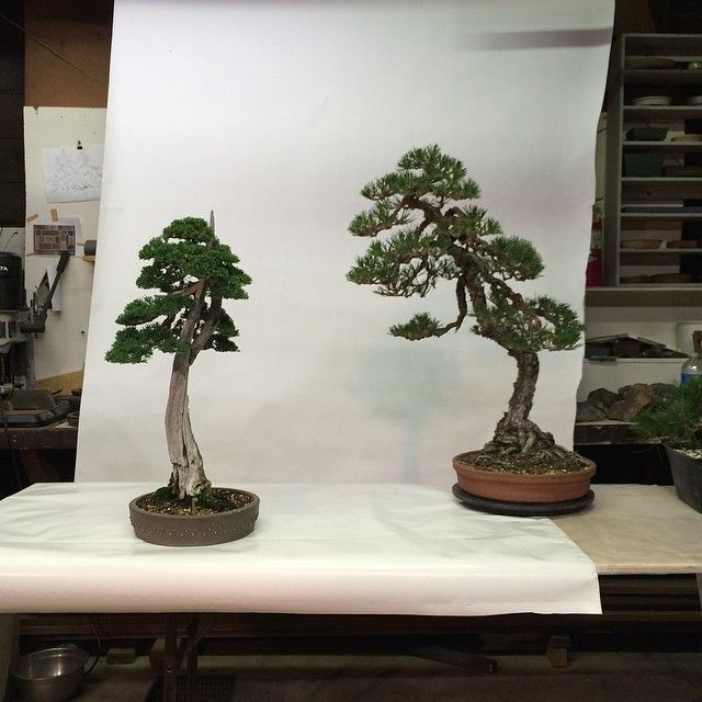 17 best images about great bonsai trees on pinterest for Famous bonsai trees