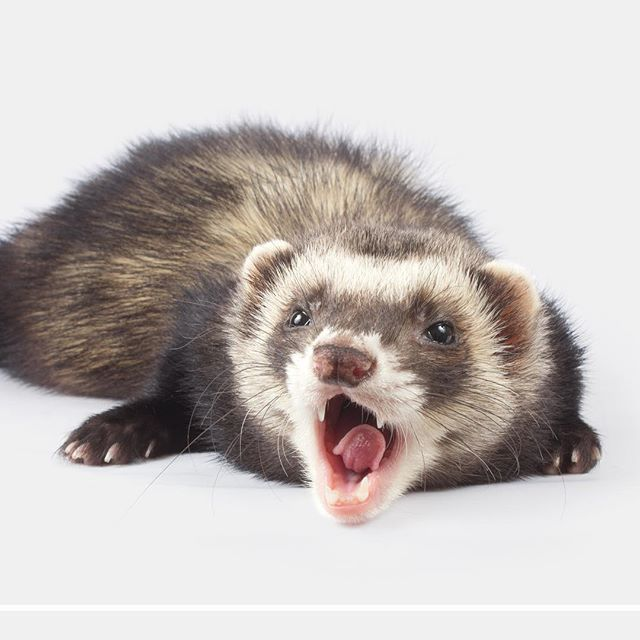Yawn 😊. . . . . #themodernferret #modernferret #ferretsarebeautiful #ferret #ferrets #ferretgram #ferretlove #furbaby #instaferret #ferretvideo #ferretsrule #ferretstagram #ferretlover #ferretism #polecat #ferretworld #ferretnation #catsnake #ferretsofinstagram #carpetshark #ferretbaby #ferretfun #ilder #furetto #frettchen #fritte ##хорек #хорьки #фретки #フェレット