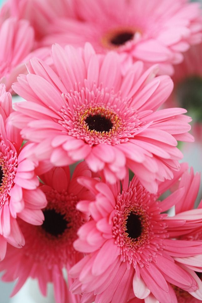 Pink daisies. Despite the fact that I don't really like pink or daisies, these are hands down my favorite flower ever