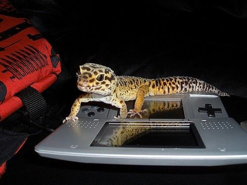 17 Best Leopard Gecko Images On Pinterest Leopard Geckos