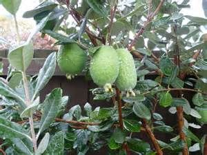 pineapple guava tree - Yahoo Image Search Results
