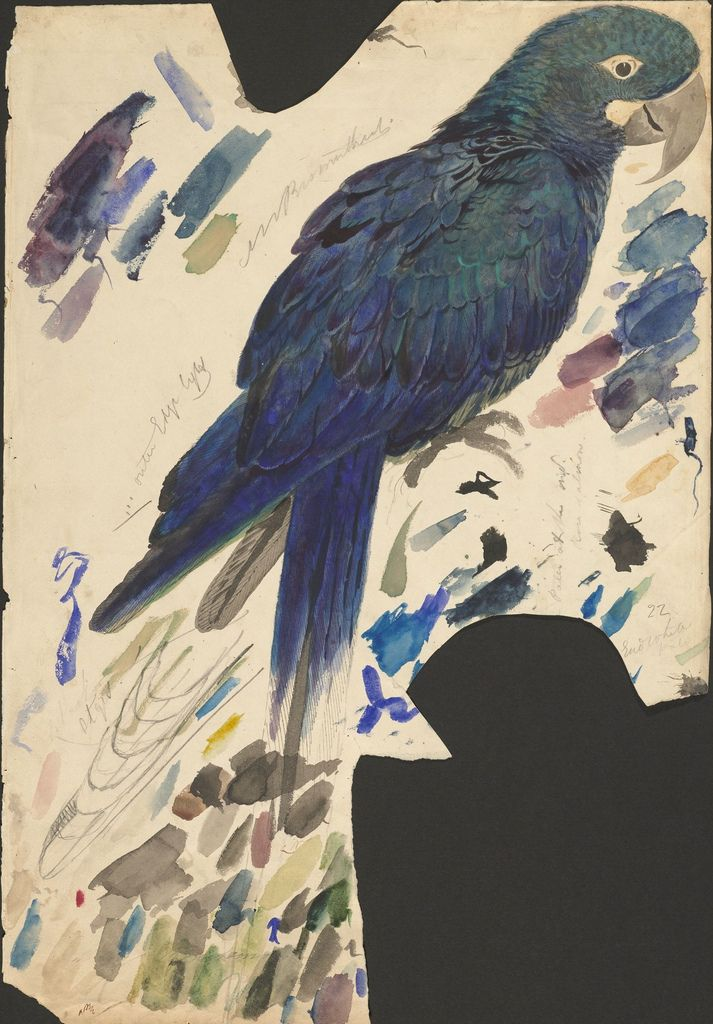 Blue parrot (Lear's macaw) - graphite and watercolour drawing (22)