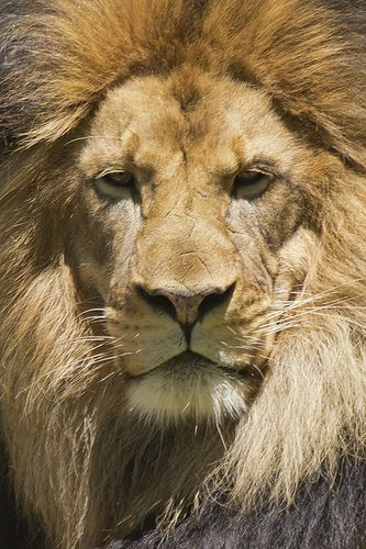 National Zoo Tue 13 May 2014 (749) African Lion Luke | Flickr - Photo Sharing!