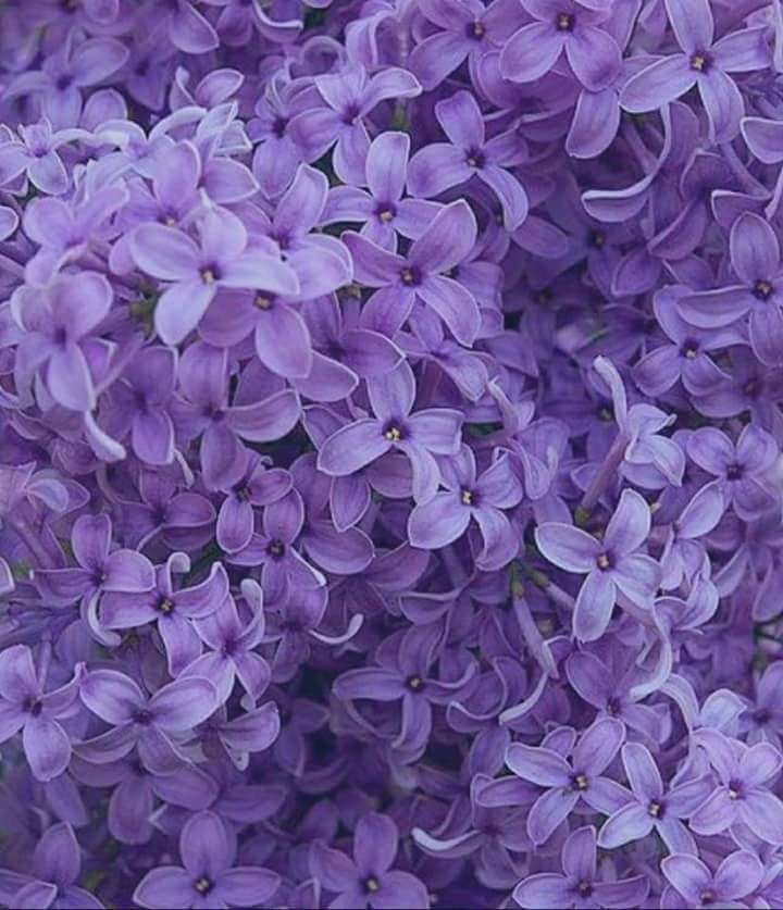I Love Lilacs Lilac Aesthetic Flowers Lilac Aesthetic Flowers In 2020 Purple Flowers Beautiful Flowers Purple Lilac